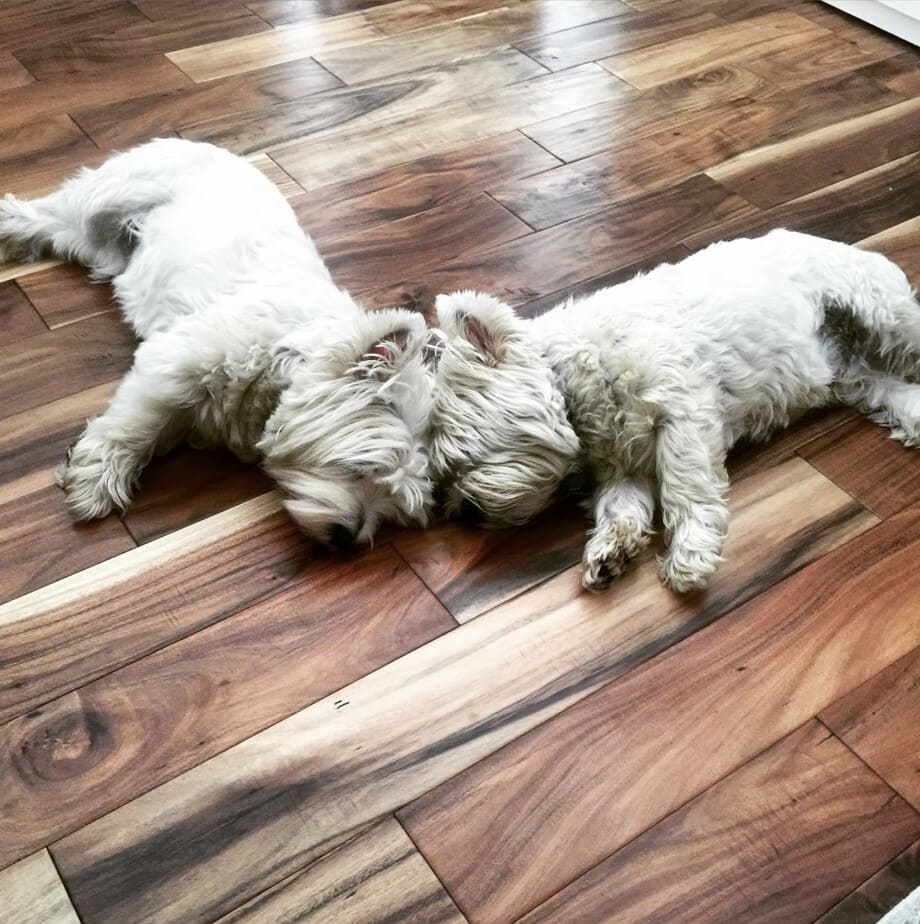 West Highland White Terriers
